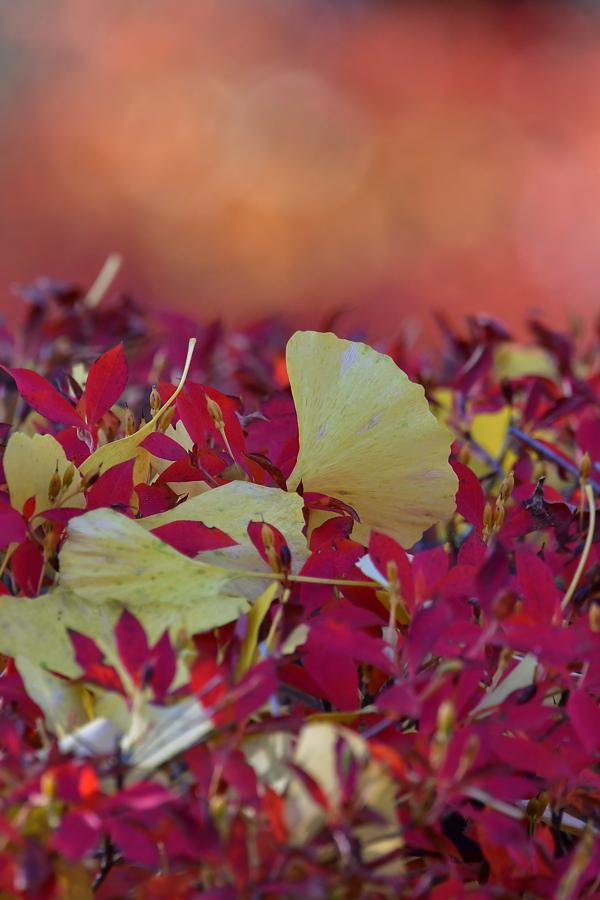 紅葉と黄葉の中で、エナガとメジロ_f0053272_20435372.jpg
