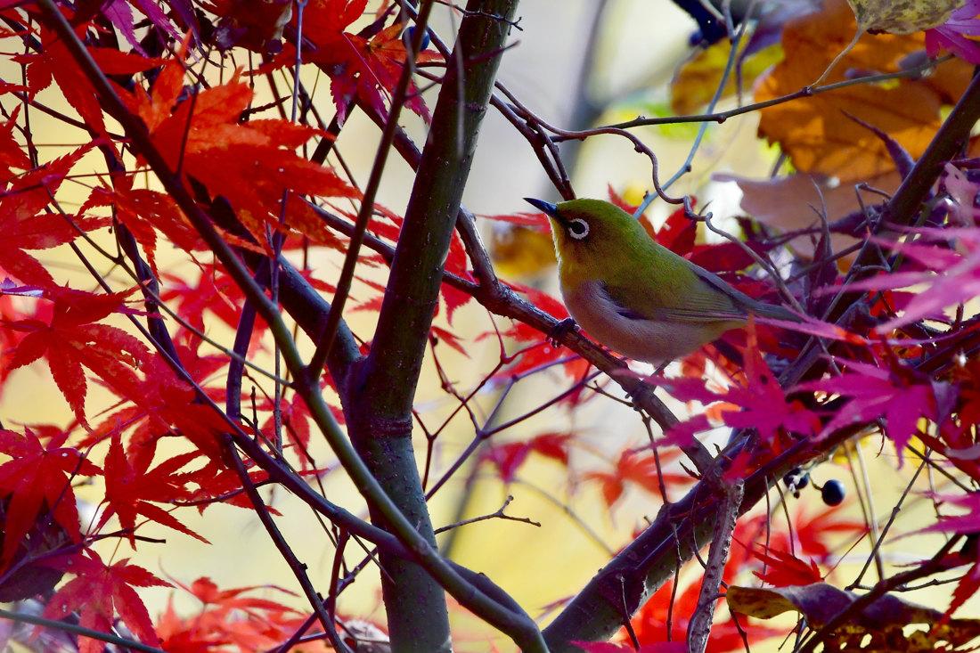 紅葉と黄葉の中で、エナガとメジロ_f0053272_2045874.jpg