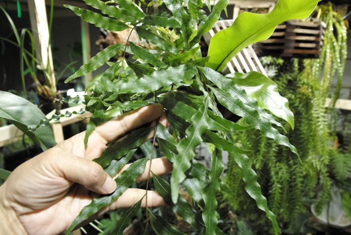 Drynaria rigidula_a0194582_13094002.jpg