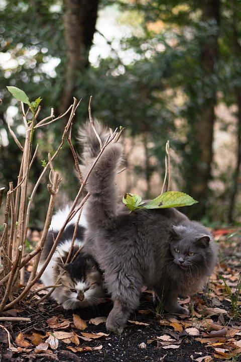 落葉の季節の桜猫たち_d0353489_18253313.jpg