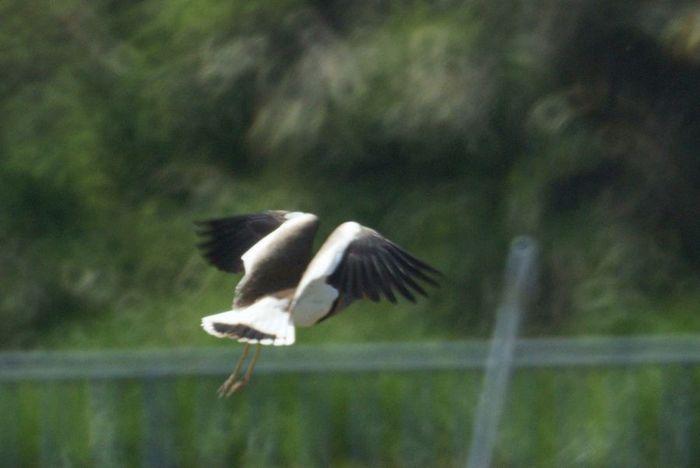 今日の野鳥:ケリ_e0362696_14403619.jpg