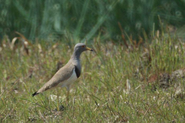 今日の野鳥:ケリ_e0362696_14403652.jpg