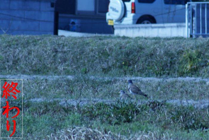今日の野鳥:ケリ(2)_e0362696_14404039.jpg