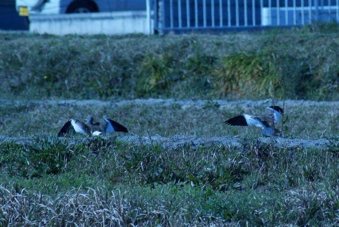 今日の野鳥:ケリ(2)_e0362696_14404071.jpg
