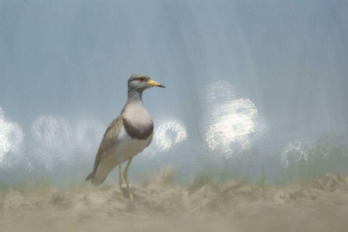 今日の野鳥:ケリ_e0362696_14405001.jpg