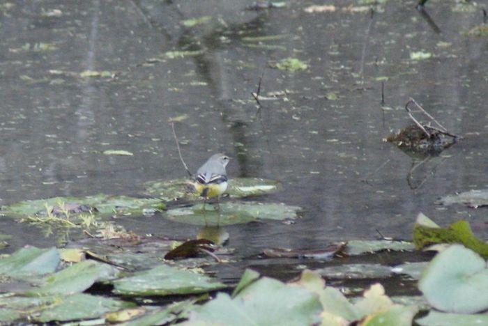 今日の野鳥:キセキレイ_e0362696_14435825.jpg