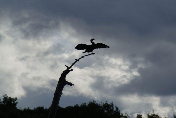 今日の野鳥:カワウの羽干し_e0362696_14440903.jpg