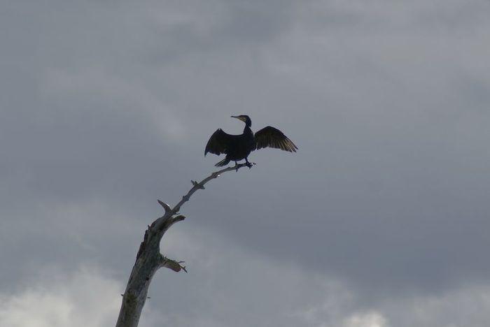 今日の野鳥:カワウの羽干し_e0362696_14440938.jpg