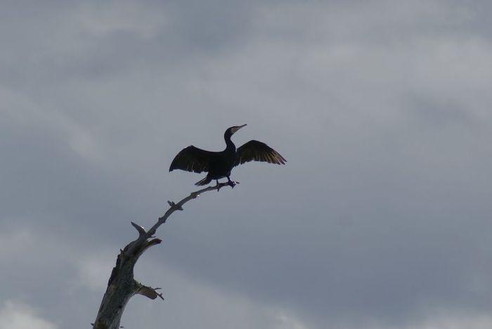 今日の野鳥:カワウの羽干し_e0362696_14440977.jpg