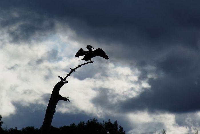今日の野鳥:カワウの羽干し_e0362696_14440993.jpg