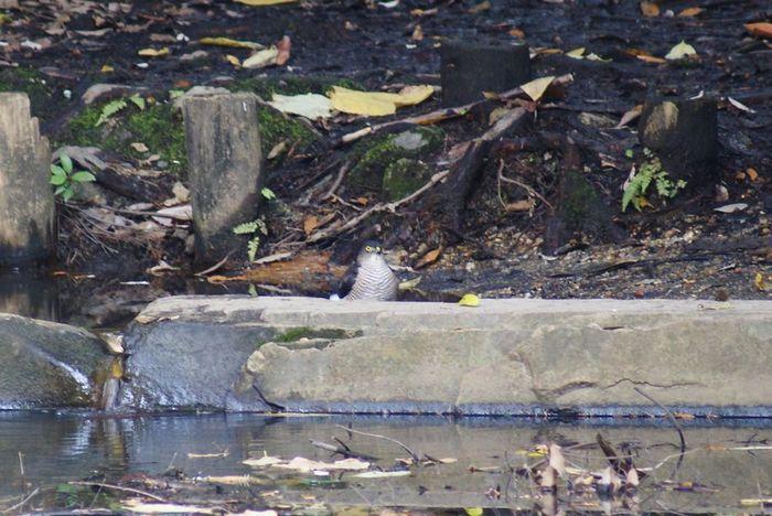 今日の野鳥:ハイタカ_e0362696_14443760.jpg