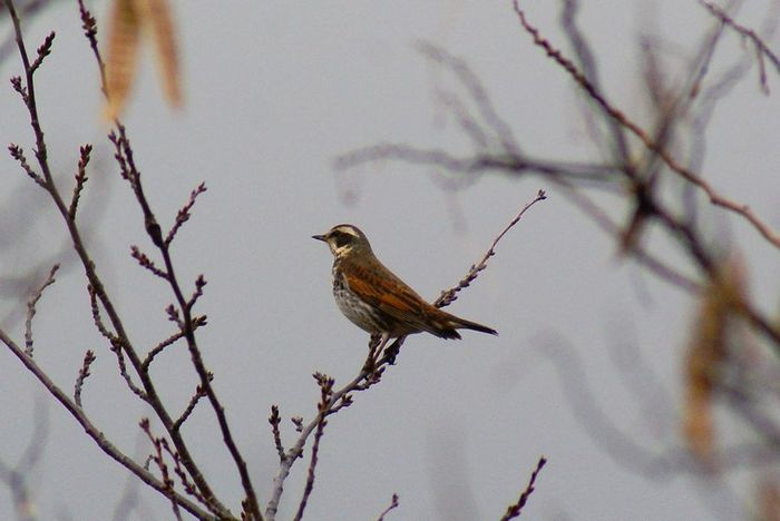 ツグミ;今日の野鳥 2010/01/08_e0362696_14464112.jpg