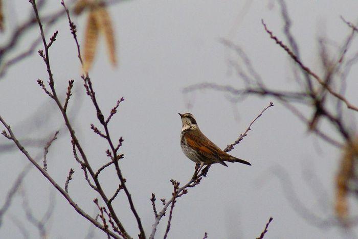 ツグミ;今日の野鳥 2010/01/08_e0362696_14464116.jpg