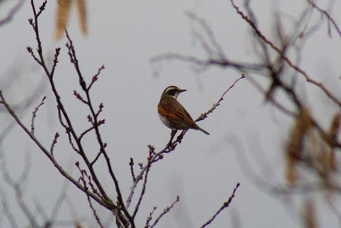 ツグミ;今日の野鳥 2010/01/08_e0362696_14464239.jpg