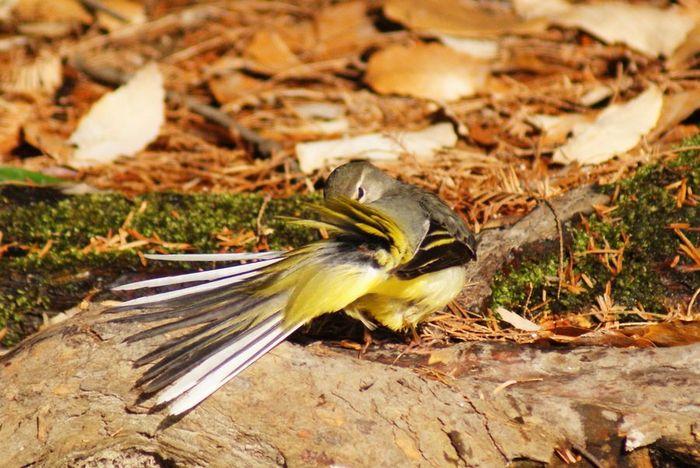 キセキレイ:今日の野鳥2010/01/15_e0362696_14471688.jpg