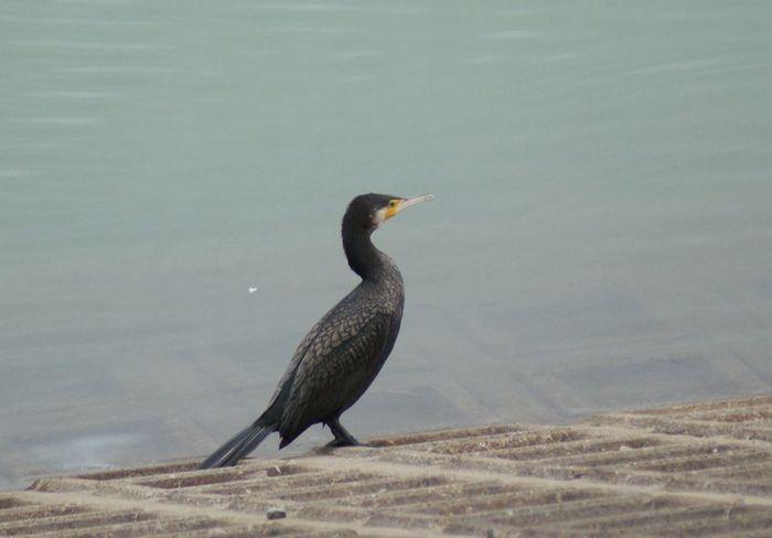 ジョウビタキ♀&バン 今日の野鳥blog:2010/03/04_e0362696_14503338.jpg