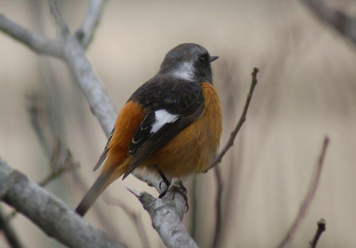 ジョウビタキ♀&バン 今日の野鳥blog:2010/03/04_e0362696_14503357.jpg