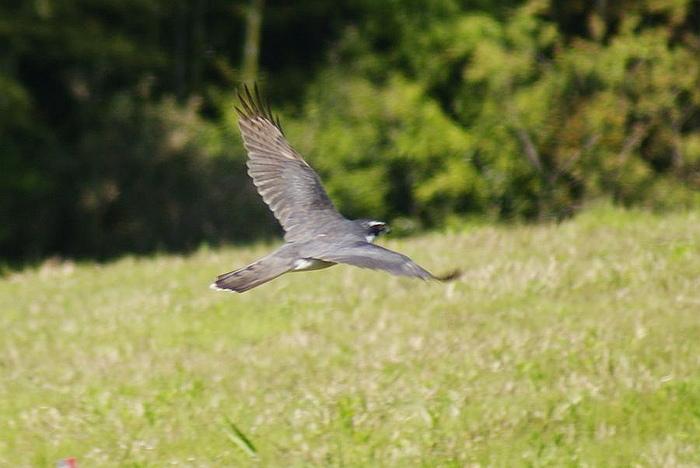「ツミ」!?今日の野鳥blog:2010/05/02_e0362696_14525918.jpg