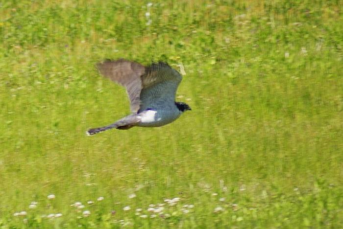 「ツミ」!?今日の野鳥blog:2010/05/02_e0362696_14525974.jpg