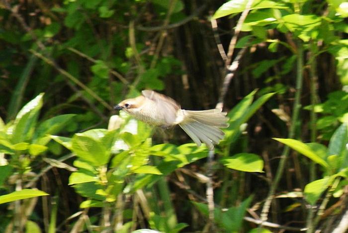 「ツミ」!?今日の野鳥blog:2010/05/02_e0362696_14530041.jpg