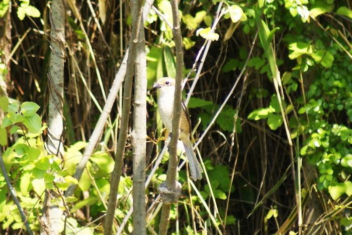 「ツミ」!?今日の野鳥blog:2010/05/02_e0362696_14530068.jpg