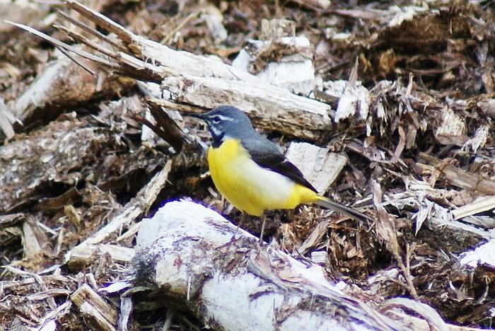 キセキレイ今日の野鳥blog:2010/05/24_e0362696_14535458.jpg