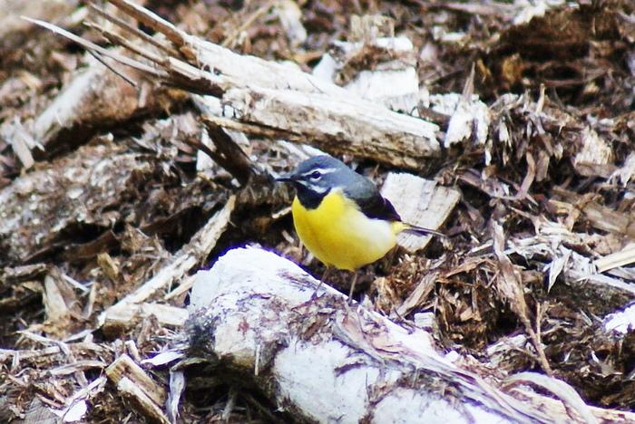 キセキレイ今日の野鳥blog:2010/05/24_e0362696_14535474.jpg