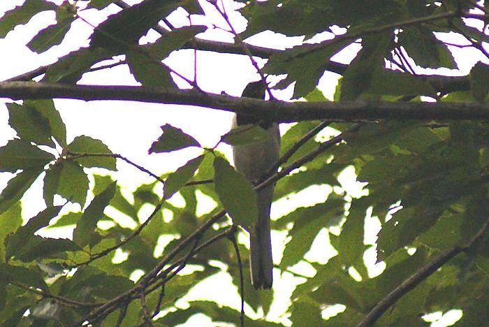 セグロセキレイ今日の野鳥blog:2010/06/20_e0362696_14543542.jpg