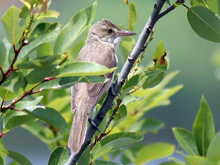 オオヨシキリ:今日の野鳥blog:2010/07/08_e0362696_14550136.jpg