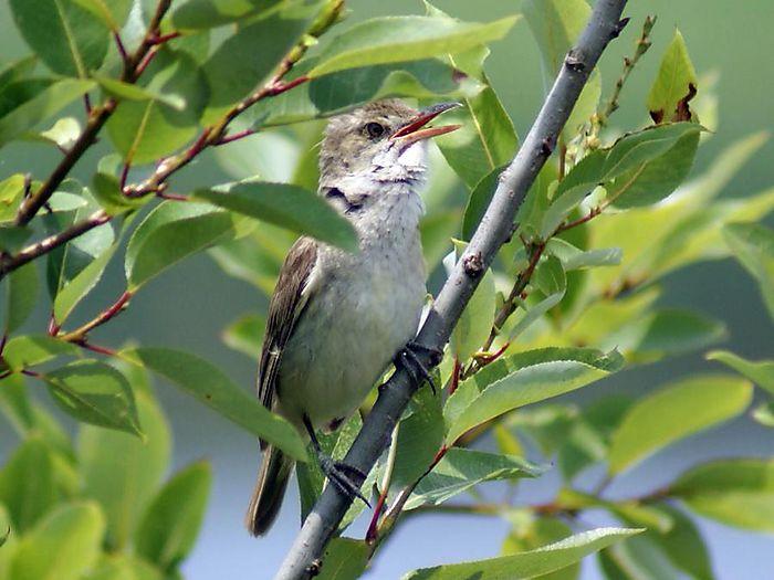 オオヨシキリ:今日の野鳥blog:2010/07/08_e0362696_14550161.jpg