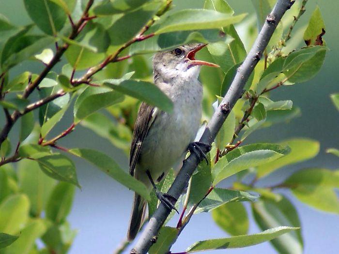 オオヨシキリ:今日の野鳥blog:2010/07/08_e0362696_14550168.jpg