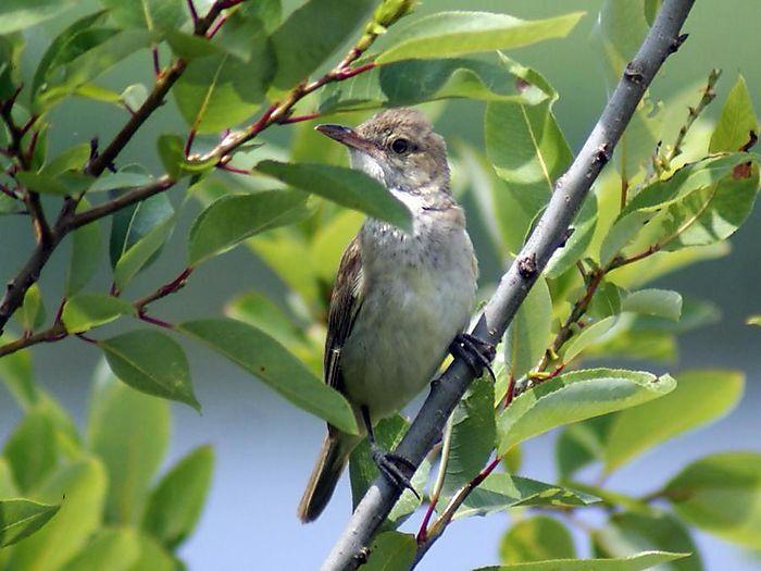 オオヨシキリ:今日の野鳥blog:2010/07/08_e0362696_14550188.jpg
