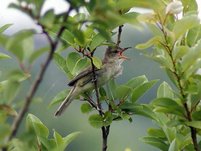 オオヨシキリ:今日の野鳥blog:2010/07/08_e0362696_14550210.jpg