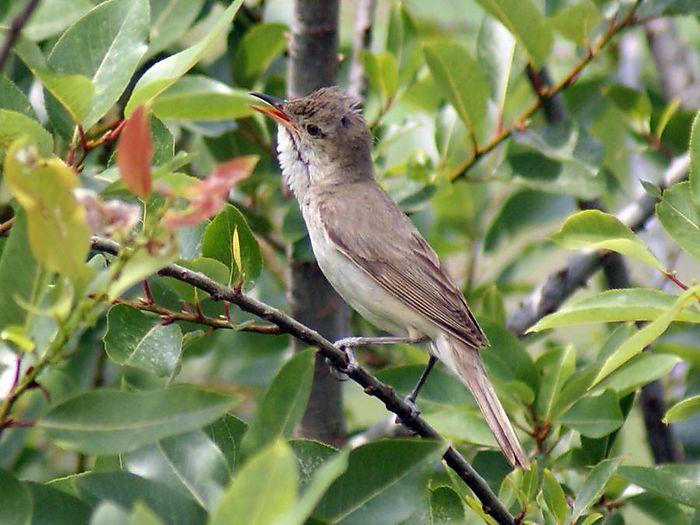 オオヨシキリ:今日の野鳥blog:2010/07/08_e0362696_14550213.jpg