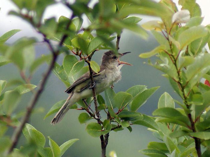 オオヨシキリ:今日の野鳥blog:2010/07/08_e0362696_14550287.jpg