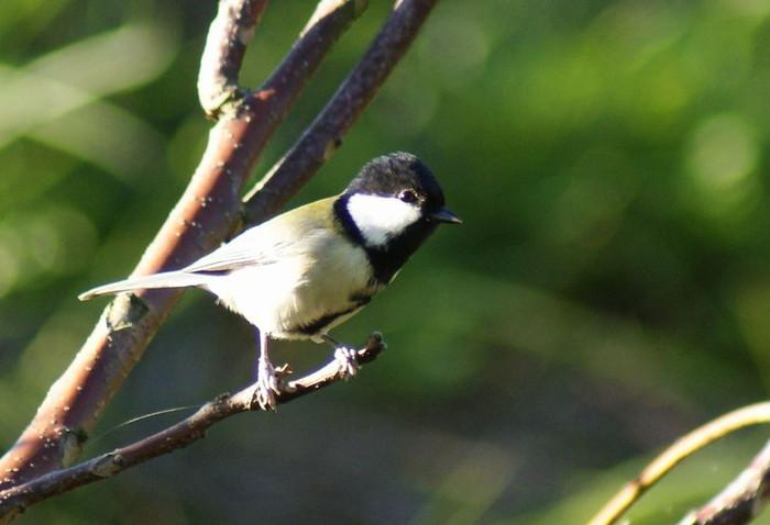 キセキレイ 今日の野鳥blog_e0362696_14571367.jpg
