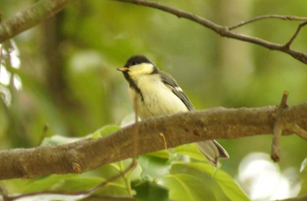 シジュウガラ幼鳥(コガラではありませんでした)_e0362696_15032300.jpg
