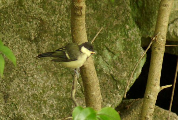シジュウガラ幼鳥(コガラではありませんでした)_e0362696_15032338.jpg