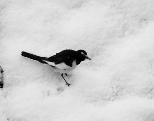 白い雪の中、白黒のセグロセキレイ!_e0362696_15335278.jpg