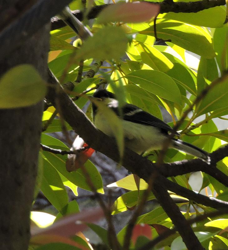 シジュウガラ 幼鳥!_e0362696_15385968.jpg