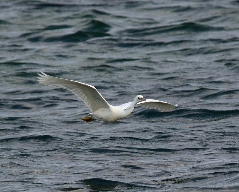 白色型:クロサギ(石垣島遠征⑩)_e0362696_15503575.jpg