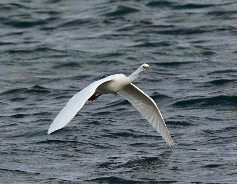 白色型:クロサギ(石垣島遠征⑩)_e0362696_15503580.jpg