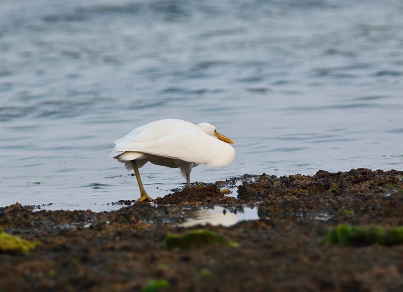 白色型:クロサギ(石垣島遠征⑩)_e0362696_15503603.jpg