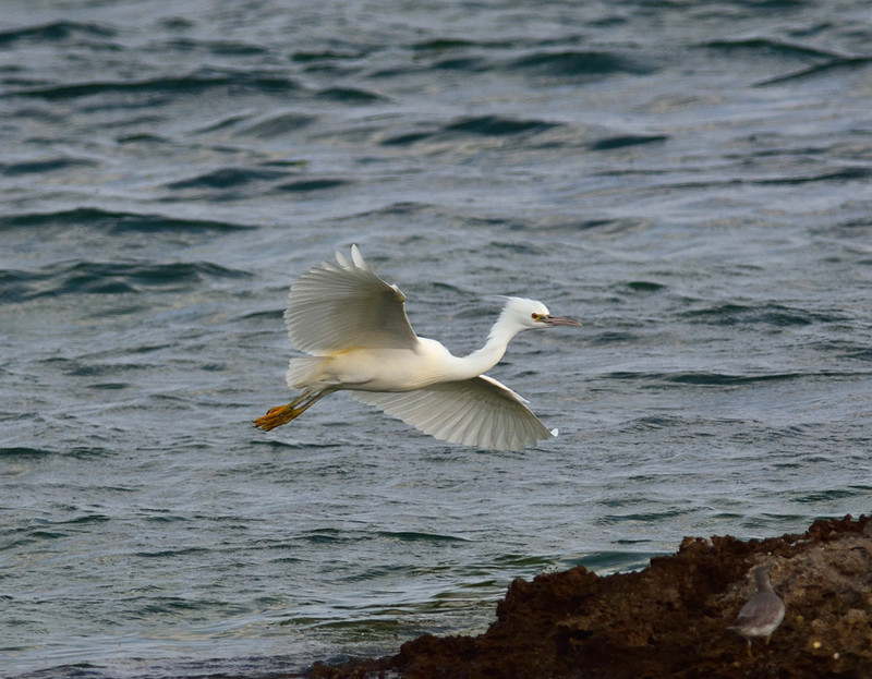 白色型:クロサギ(石垣島遠征⑩)_e0362696_15503623.jpg