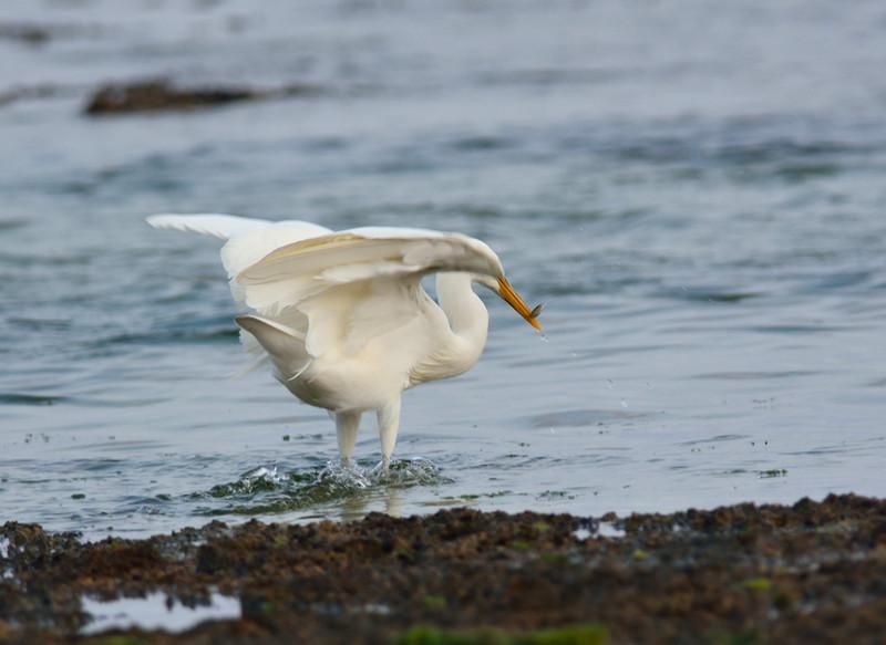 白色型:クロサギ(石垣島遠征⑩)_e0362696_15503705.jpg