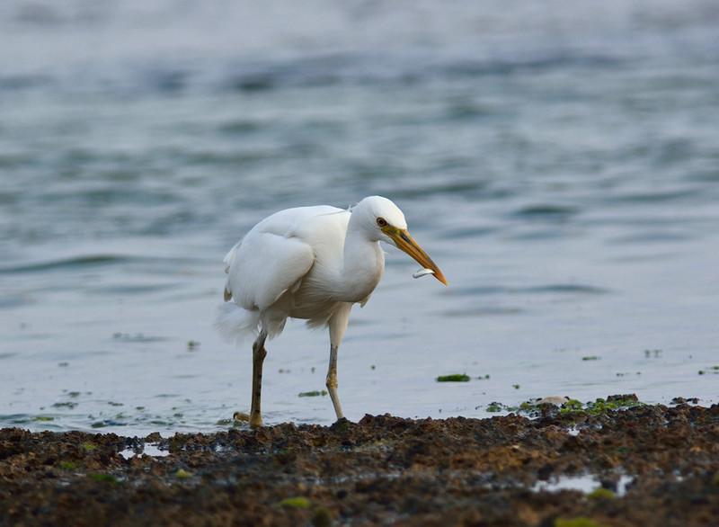 白色型:クロサギ(石垣島遠征⑩)_e0362696_15503777.jpg