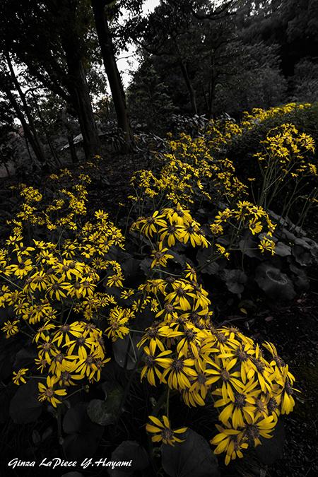花のある風景 黄色の世界 ツワブキ_b0133053_00142202.jpg