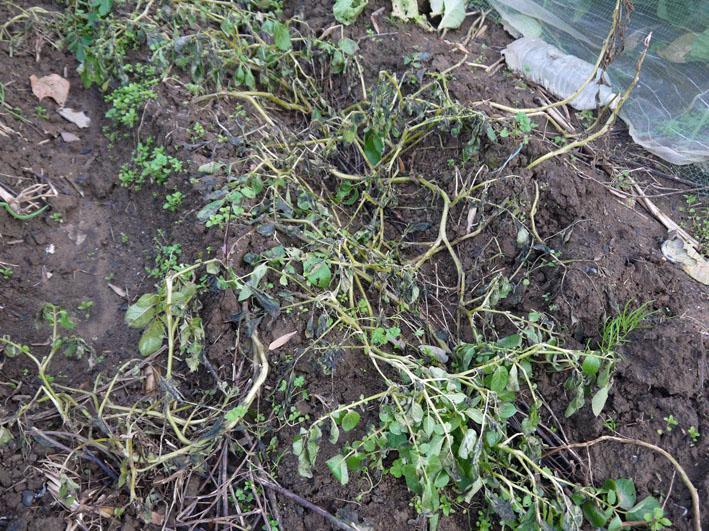 今冬、ブロッコリー、ニンジン、インゲンを初収穫11・28_c0014967_913966.jpg