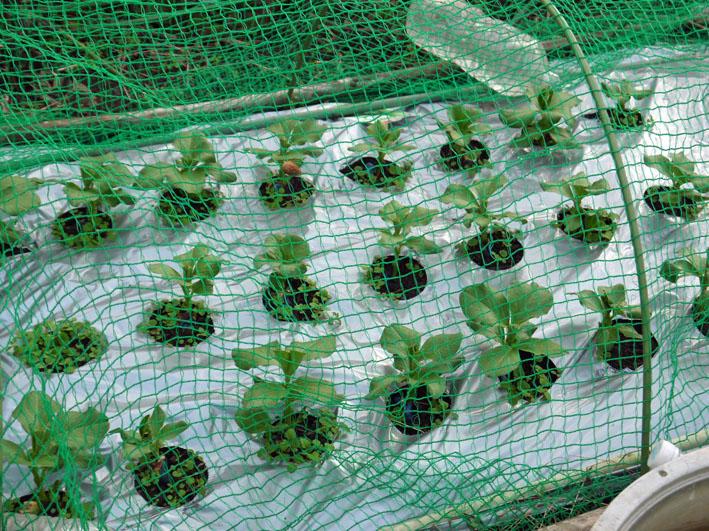 今冬、ブロッコリー、ニンジン、インゲンを初収穫11・28_c0014967_9142374.jpg