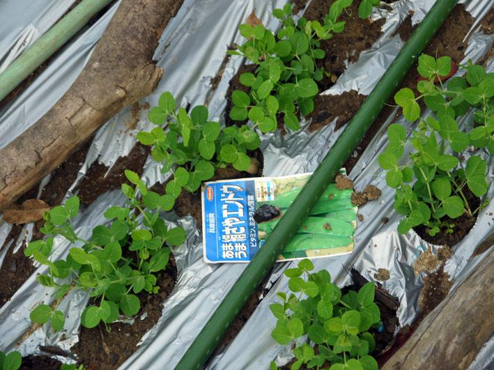 今冬、ブロッコリー、ニンジン、インゲンを初収穫11・28_c0014967_9145041.jpg